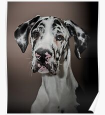 Great Dane puppy Poster
