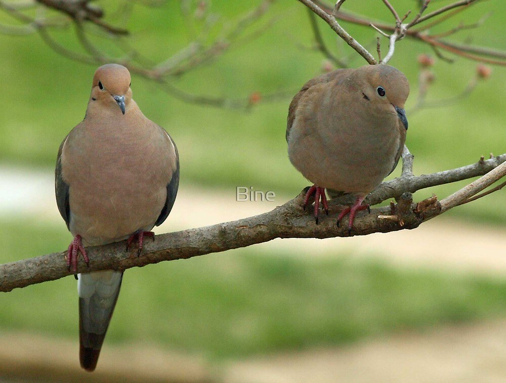 Mourning Doves by Bine