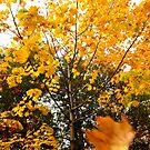 Falling Leaves by Nancy Barrett