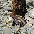 Alaskan Bald Eagle by JagiShahani