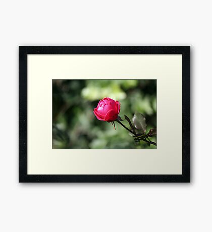November Rose Framed Print