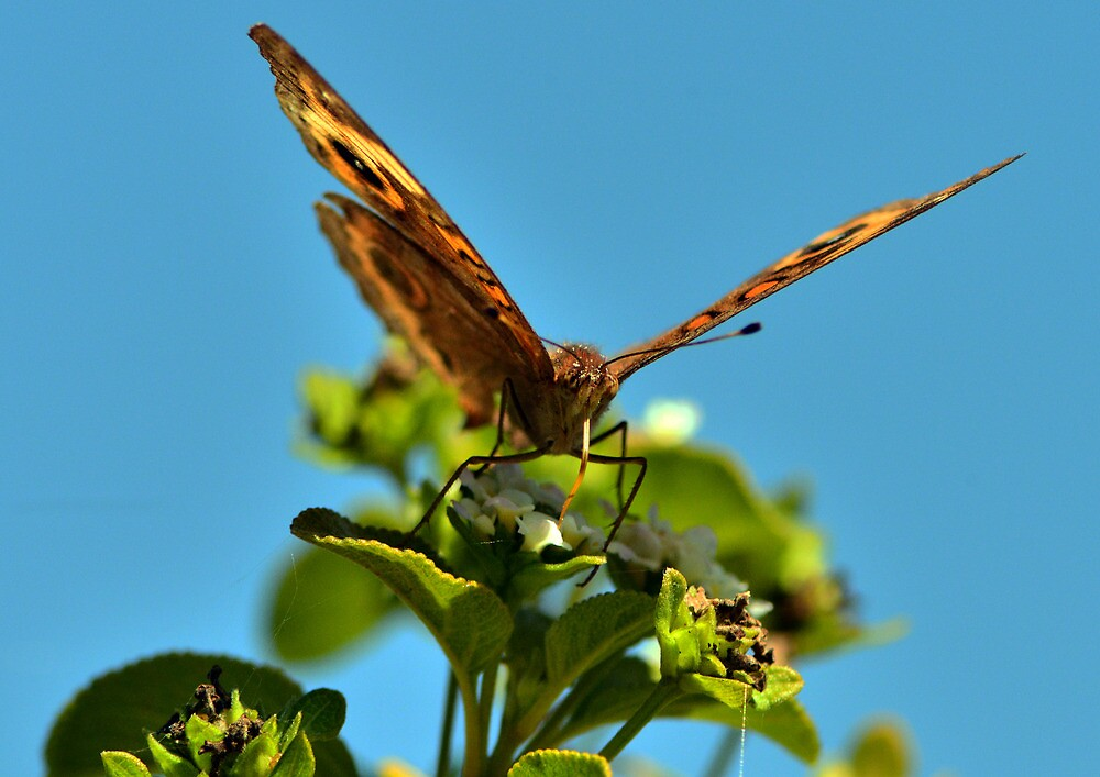Lovers Key Butterfly by Barry Goble