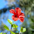 Red Hibiscus by Vac1