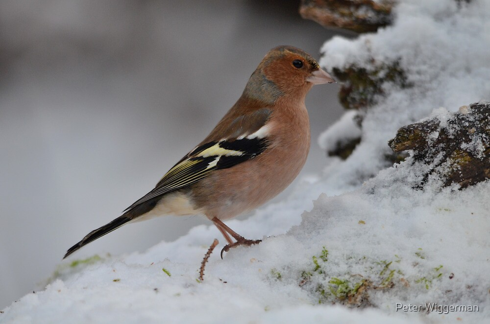Chaffinch by Peter Wiggerman