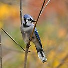 Blue Jay by Nancy Barrett