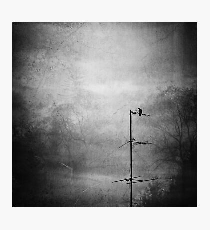 Black dove Photographic Print