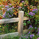 Asters on Fence by Nancy Barrett