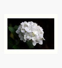 White Hydranga Art Print