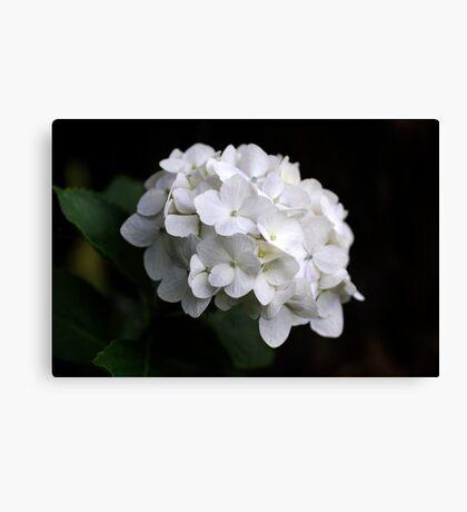 White Hydranga Canvas Print