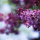 Lilac by Karen Havenaar
