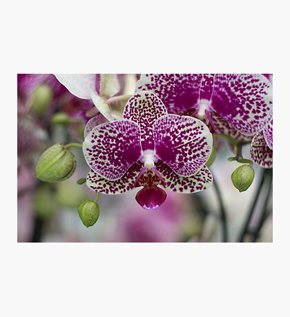 Orchid Photographic Print