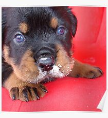 Comical Rottweiler Puppy With Food On Snout Poster