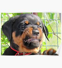 Funny Grumpy Faced Rottweiler Puppy  Poster