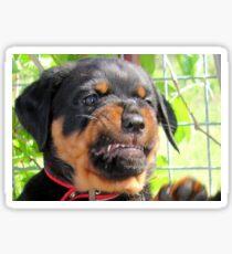Funny Grumpy Faced Rottweiler Puppy  Sticker