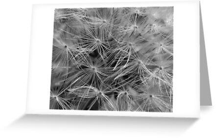 Dandelion Seed Head (abstract) by rosaliemcm