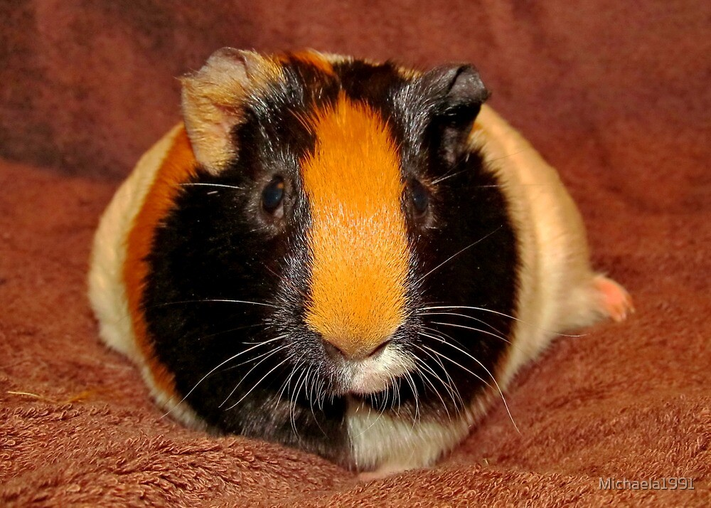 Truffle the Guinea Pig (Heavily Pregnant) by Michaela1991