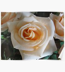Better than apricots is this Apricot Rose ... Poster