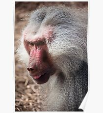 Baboon, Royal Melbourne Zoo Poster
