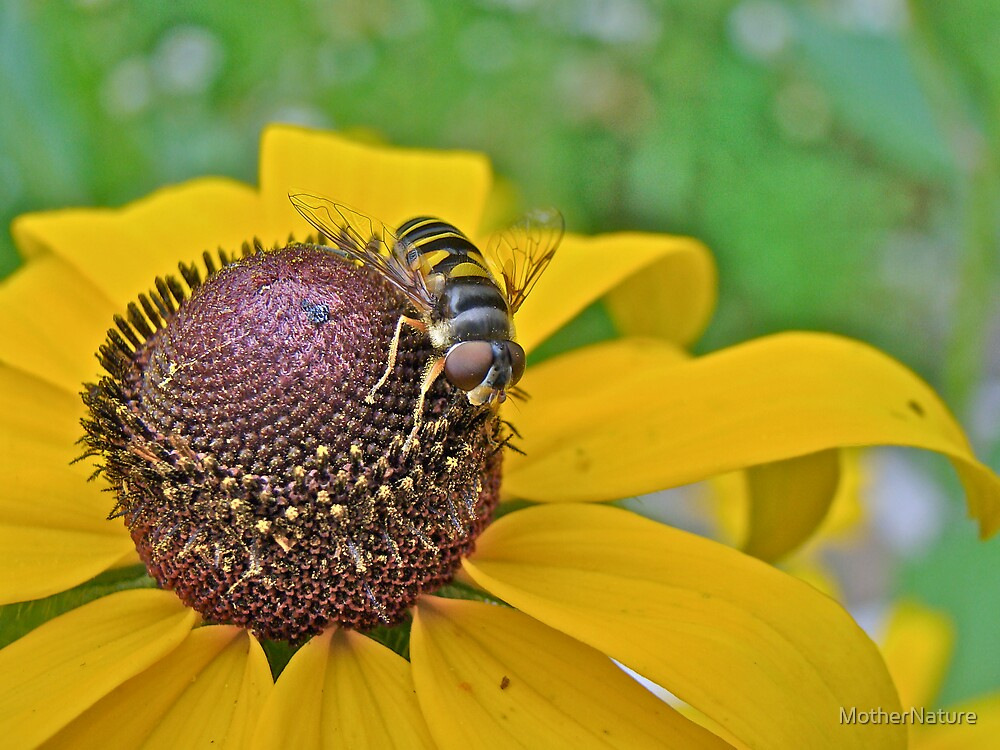 Bee Mimic on Black-Eyed Susan - Hover Fly by MotherNature