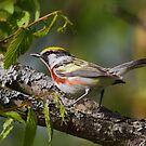 Chestnut-sided Warbler II by naturalnomad