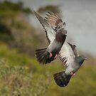 Pigeons Landing by Deborah  Benoit