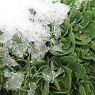 Snowy Greens by KimSha