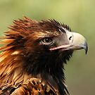 Wedgetail Eagle by Marion  Cullen