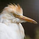 Cattle Egret by Marion  Cullen