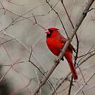 Winter Cardinal  by David Clark