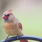 Female cardinal by Penny Fawver