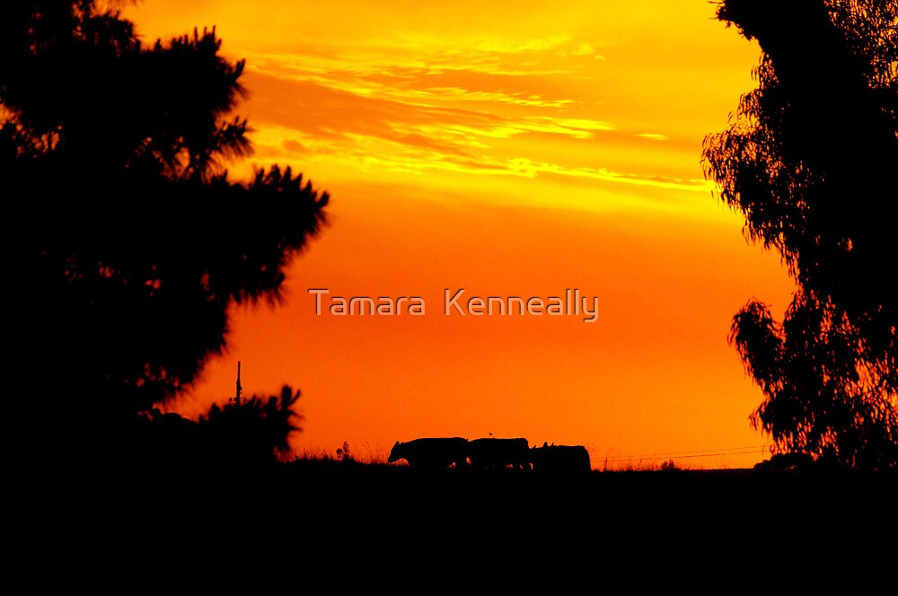 Cows In The Sunset by Tamara  Kenneally