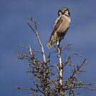 Northern Hawk Owl (Surnia ulula) by Marty Samis
