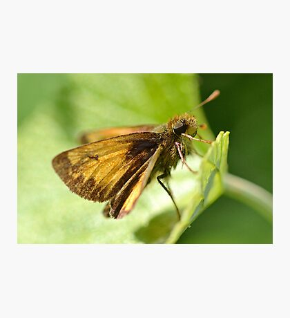 Peck's Skipper Photographic Print
