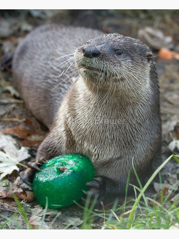 Otter has a green toy by dailyanimals
