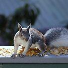 Arizona Gray Squirrel - Sciurus arizonensis by Jazzy724