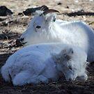 Ewe & Lamb Dall Sheep (Ovis dalli)  by Jazzy724