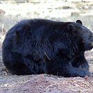 American Black Bear by Jazzy724