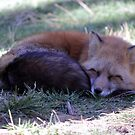 Red Fox  (Vulpes vulpes) by Jazzy724