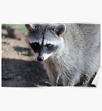 Raccoon  (Procyon lotor) Poster