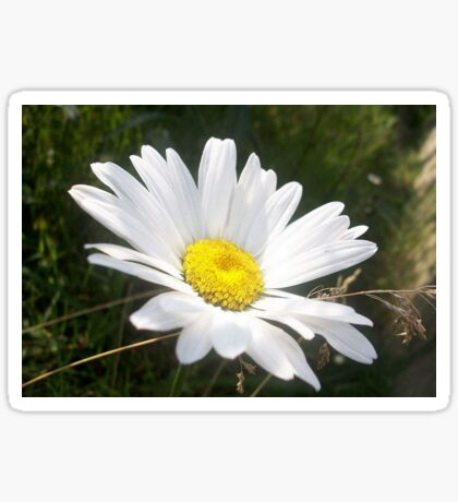Close Up of a Marguerite Daisy Flower Sticker