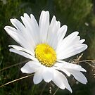 Close Up of a Marguerite Daisy Flower by taiche