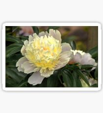 Two Tone Peony - remembering summer!!!! Sticker