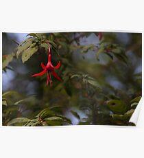 Fuchsia magellanica / Chilco Poster
