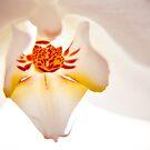 Phalaenopsis by Basia McAuley