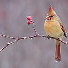 Northern Cardinal on Wild Rose by (Tallow) Dave  Van de Laar