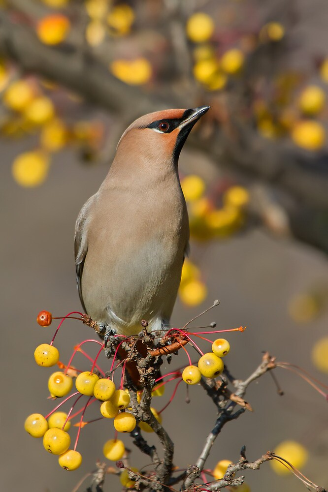 The Red Berry - Bohemian Waxwing. by Daniel Cadieux
