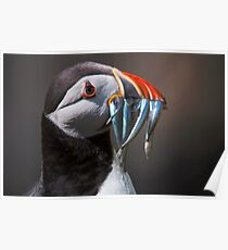 Puffin on Saltee Islands, County Wexford, Ireland Poster