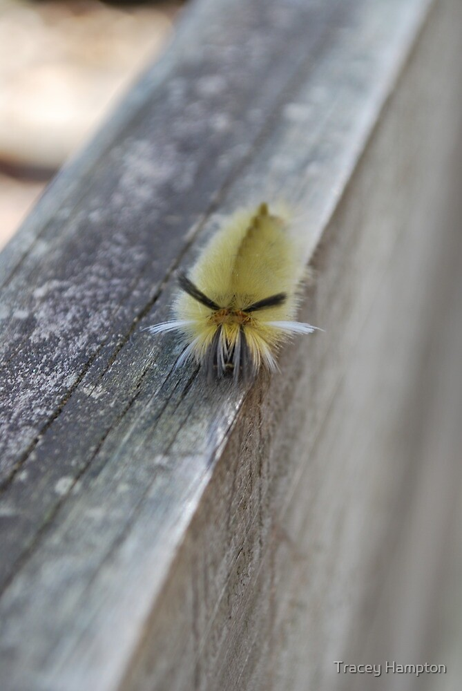 wooly worm by Tracey Hampton
