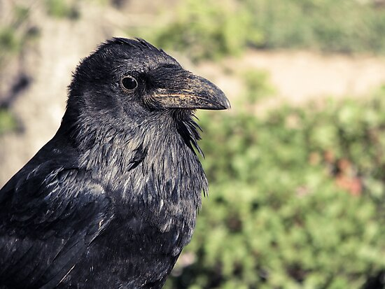 Corvus corvax, Common Raven by David Orr