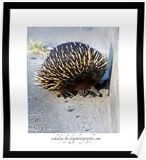 Echidna at Cuttagee Poster
